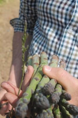 asparagus 8